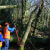 Clearing - Clearing a fallen Beech tree (2)